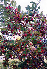 Red Chokeberry (Aronia arbutifolia) at Fernwood Garden Center