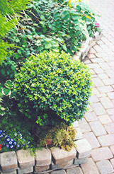 Japanese Boxwood (Buxus microphylla) at Fernwood Garden Center