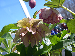 Maid Of Honor Hellebore (Helleborus 'Maid Of Honor') at Fernwood Garden Center
