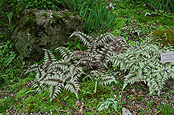 Japanese Painted Fern (Athyrium nipponicum 'Pictum') at Fernwood Garden Center