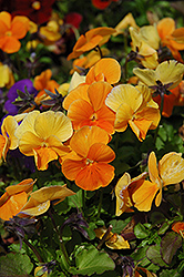 Penny Orange Pansy (Viola cornuta 'Penny Orange') at Fernwood Garden Center
