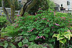 Common Bleeding Heart (Dicentra spectabilis) at Fernwood Garden Center