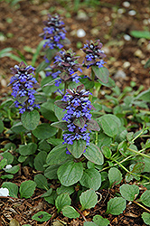 Caitlin's Giant Bugleweed (Ajuga reptans 'Caitlin's Giant') at Fernwood Garden Center