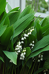 Lily-Of-The-Valley (Convallaria majalis) at Fernwood Garden Center