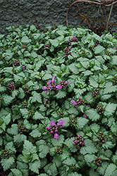 Red Nancy Spotted Dead Nettle (Lamium maculatum 'Red Nancy') at Fernwood Garden Center