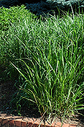 Switch Grass (Panicum virgatum) at Fernwood Garden Center