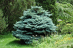 Globe Blue Spruce (Picea pungens 'Globosa') at Fernwood Garden Center