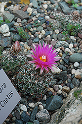 Pincushion Cactus (Coryphantha vivipara) at Fernwood Garden Center