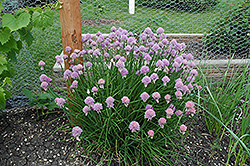 Chives (Allium schoenoprasum) at Fernwood Garden Center