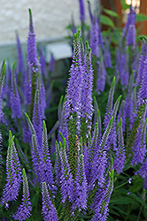 Sunny Border Blue Speedwell (Veronica 'Sunny Border Blue') at Fernwood Garden Center