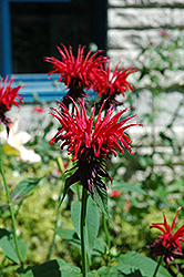 Jacob Cline Beebalm (Monarda 'Jacob Cline') at Fernwood Garden Center