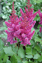 Visions Astilbe (Astilbe chinensis 'Visions') at Fernwood Garden Center