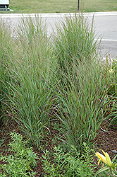 Shenandoah Reed Switch Grass (Panicum virgatum 'Shenandoah') at Fernwood Garden Center