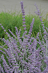 Russian Sage (Perovskia atriplicifolia) at Fernwood Garden Center