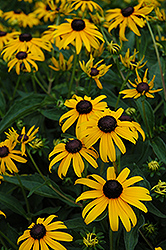 Indian Summer Coneflower (Rudbeckia hirta 'Indian Summer') at Fernwood Garden Center