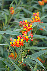 Red Butterfly Milkweed (Asclepias curassavica 'Red Butterfly') at Fernwood Garden Center