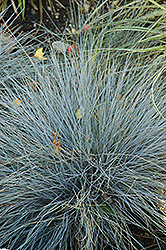Blue Fescue (Festuca glauca) at Fernwood Garden Center