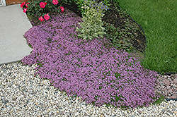 Red Creeping Thyme (Thymus praecox 'Coccineus') at Fernwood Garden Center