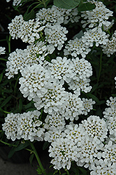 Alexander White Candytuft (Iberis sempervirens 'Alexander White') at Fernwood Garden Center