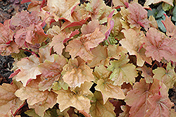 Dolce® Creme Brulee Coral Bells (Heuchera 'Tnheu041') at Fernwood Garden Center