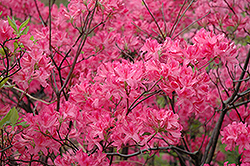 Northern Lights Azalea (Rhododendron 'Northern Lights') at Fernwood Garden Center