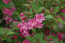 Minuet Weigela (Weigela florida 'Minuet') at Fernwood Garden Center