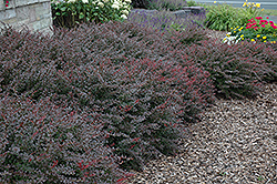 Crimson Pygmy Japanese Barberry (Berberis thunbergii 'Crimson Pygmy') at Fernwood Garden Center