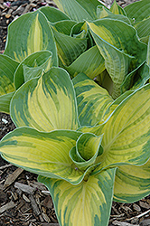 Great Expectations Hosta (Hosta 'Great Expectations') at Fernwood Garden Center