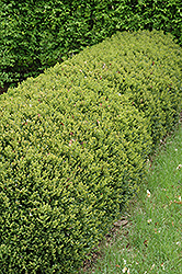 Green Gem Boxwood (Buxus 'Green Gem') at Fernwood Garden Center