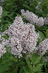 Miss Kim Lilac (Syringa patula 'Miss Kim') at Fernwood Garden Center