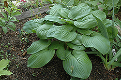 Fried Green Tomatoes Hosta (Hosta 'Fried Green Tomatoes') at Fernwood Garden Center