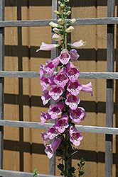 Common Foxglove (Digitalis purpurea) at Fernwood Garden Center