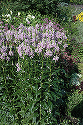 Obedient Plant (Physostegia virginiana) at Fernwood Garden Center