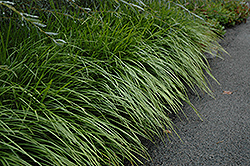 Lily Turf (Liriope spicata) at Fernwood Garden Center
