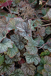 Pinot Noir Hairy Alumroot (Heuchera villosa 'Pinot Noir') at Fernwood Garden Center