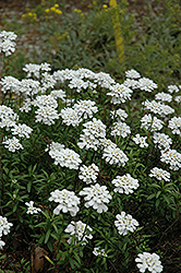 Purity Candytuft (Iberis sempervirens 'Purity') at Fernwood Garden Center