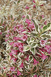 My Monet® Weigela (Weigela florida 'Verweig') at Fernwood Garden Center