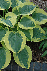 Liberty Hosta (Hosta 'Liberty') at Fernwood Garden Center