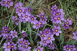 Lucerne Blue-Eyed Grass (Sisyrinchium angustifolium 'Lucerne') at Fernwood Garden Center