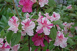 Encore® Autumn Twist™ Azalea (Rhododendron 'Conlep') at Fernwood Garden Center