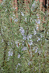 Arp Rosemary (Rosmarinus officinalis 'Arp') at Fernwood Garden Center