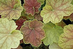 Tiramisu Coral Bells (Heuchera 'Tiramisu') at Fernwood Garden Center