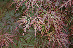 Orangeola Cutleaf Japanese Maple (Acer palmatum 'Orangeola') at Fernwood Garden Center