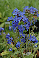 Blue Angel Summer Forget-Me-Not (Anchusa capensis 'Blue Angel') at Fernwood Garden Center