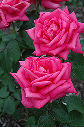 Miss All American Beauty Rose (Rosa 'Miss All American Beauty') at Fernwood Garden Center