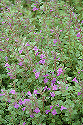 Rock Thyme (Acinos alpinus) at Fernwood Garden Center