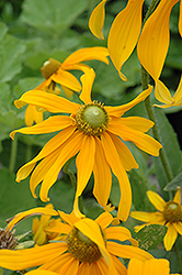 Irish Eyes Coneflower (Rudbeckia hirta 'Irish Eyes') at Fernwood Garden Center