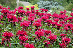 Raspberry Wine Beebalm (Monarda 'Raspberry Wine') at Fernwood Garden Center