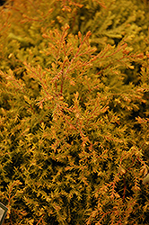 Fire Chief™ Arborvitae (Thuja occidentalis 'Congabe') at Fernwood Garden Center
