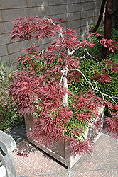 Ever Red Lace-Leaf Japanese Maple (Acer palmatum 'Ever Red') at Fernwood Garden Center